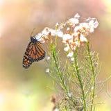 Monarch butterfly dried flowers. Beautiful orange and black monarch butterfly feasting on dried white cottony field flowers stock photos