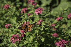 Monarch butterfly on a pink flowered bush. Beautiful orange and black monarch butterfly on a pink flowered bush stock images