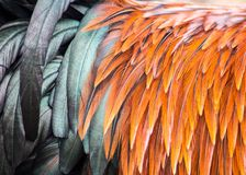 Beautiful Orange and Black Rooster feathers Royalty Free Stock Photos