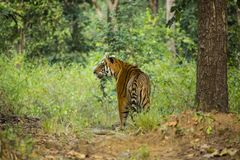 Wild Tiger in Jungle. A beautiful orange and black striped male Bengal Tiger pauses in the jungle in Kanha forest preserve in India stock photos