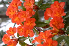 Beautiful orange blossoms Stock Photography