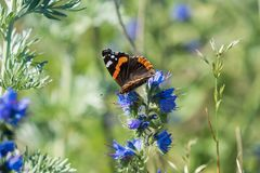 Beautiful orange and brown admiral butterfly sitting on blue flo Royalty Free Stock Image