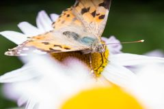 A beautiful orange brown butterfly sits on a flower ith a yellow middle. A beautiful orange brown butterfly sits on a flower with a yellow middle royalty free stock photo
