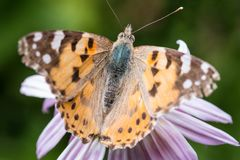 A beautiful orange brown butterfly sits on a flower ith a yellow middle. stock images