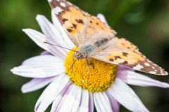 A beautiful orange brown butterfly sits on a flower ith a yellow middle. royalty free stock photography