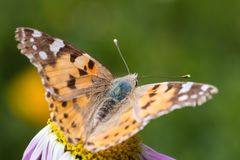 A beautiful orange brown butterfly sits on a flower ith a yellow middle. royalty free stock photos