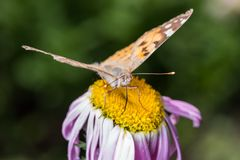 A beautiful orange brown butterfly sits on a flower ith a yellow middle. royalty free stock image