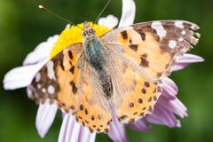 A beautiful orange brown butterfly sits on a flower ith a yellow middle. A beautiful orange brown butterfly sits on a flower with a yellow middle stock images