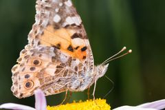A beautiful orange brown butterfly sits on a flower ith a yellow middle. royalty free stock photo