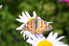 A beautiful orange brown butterfly sits on a flower ith a yellow middle. royalty free stock images