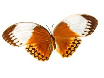 Beautiful orange butterfly. Isolated tropical beautiful orange butterfly royalty free stock photography