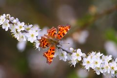 Beautiful orange butterfly. On blooming tree in spring Stock Images