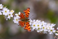 Beautiful orange butterfly. On blooming tree in spring Royalty Free Stock Photos