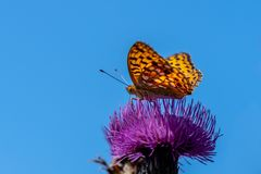 Beautiful orange butterfly against a blue sky. Close up of a large orange and black spotted butterfly. Silver-washed fritillary. Argynnis paphia. Sitting on a royalty free stock photo