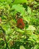 Beautiful orange butterfly with black dots sitting on a leaf. Photo of a beautiful orange butterfly with black dots sitting on a leaf stock photos