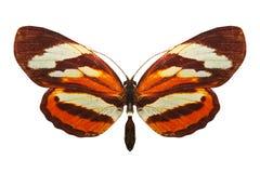 Beautiful orange butterfly. breed Nymphalis xanthomelas. isolated on white background. Orange butterfly. breed Nymphalis xanthomelas. isolated on white royalty free stock image