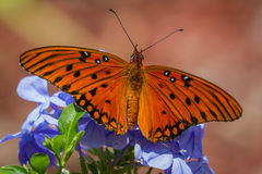 Beautiful orange butterfly. Close up of a beautiful orange butterfly feeding on spring blue flowers in a garden stock images