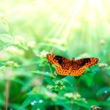Beautiful Orange Butterfly. On flower plants in the summer stock image