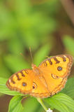 Beautiful Orange Butterfly I Royalty Free Stock Photography