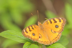 Beautiful Orange Butterfly II Royalty Free Stock Photos