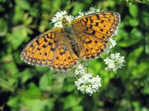 Orange butterfly on beautiful flower, Lithuania Stock Photography