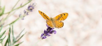 Beautiful orange butterfly over the violet Lavender flowers. stock photography