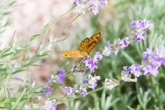 Beautiful orange butterfly over the violet Lavender flowers. royalty free stock photo
