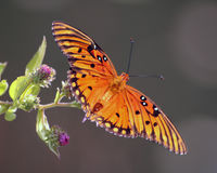 Beautiful orange butterfly on purple flowers. Beautiful Guld fritillary butterfly spreads it's colorful orange and black wings as it lands on a purple flower Stock Images