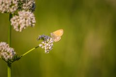 A beautiful orange butterfly sitting on a valerian flower. Closeup in meadow. In Latvia, Northern Europe royalty free stock photo