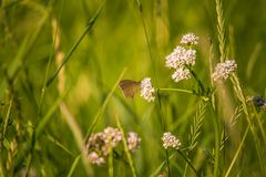 A beautiful orange butterfly sitting on a valerian flower. Closeup in meadow. In Latvia, Northern Europe stock photography