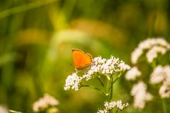 A beautiful orange butterfly sitting on a valerian flower. Closeup in meadow. In Latvia, Northern Europe royalty free stock photography