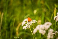 A beautiful orange butterfly sitting on a valerian flower. Closeup in meadow. In Latvia, Northern Europe royalty free stock image