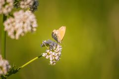 A beautiful orange butterfly sitting on a valerian flower. Closeup in meadow. In Latvia, Northern Europe royalty free stock photos