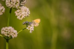 A beautiful orange butterfly sitting on a valerian flower. Closeup in meadow. In Latvia, Northern Europe stock photos