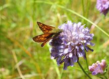 Orange butterfly on violet flower, Lithuania. Beautiful orange butterfly on violet flower in meadow in summer royalty free stock photo
