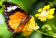 Beautiful orange butterfly on a yellow flower Stock Photos
