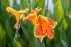 Beautiful orange canna lily. Closeup of beautiful orange canna lily with another one and green leaves in background Royalty Free Stock Photography