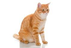 Beautiful orange cat Royalty Free Stock Photos