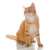 Beautiful orange cat Stock Photography