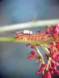 Beautiful orange caterpillar creeps Royalty Free Stock Photos