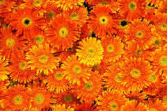 Beautiful of Orange chrysanthemum flowers backgrou Royalty Free Stock Photography