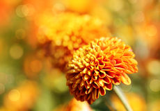 Beautiful orange chrysanthemum flowers & bokeh Stock Image