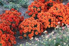 Beautiful orange Chrysanthemums in garden. Beautiful decorative orange Chrysanthemums, sometimes called mums or chrysanths, flowers in the autumn garden. Flora stock photos