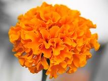 Beautiful orange clove. In the garden Stock Images