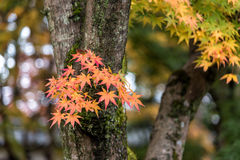 Beautiful orange color of maple leaves in autumn Stock Images