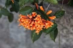 Beautiful Orange Colored Flowers in Bright Tones with Green Background. Beautiful orange colored flowers in bright tones with green colored background royalty free stock photography
