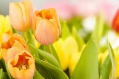 Beautiful orange colored tulips. Stock Images