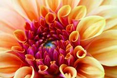 Beautiful orange dahlia flower closeup. Flowers, background royalty free stock image