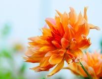 Beautiful orange dahlia. In the garden Stock Image