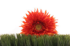 Beautiful orange daisy on green grass isolated on white background. Beautiful orange color gerbera daisy flower peeking behind green grass - isolated on white Royalty Free Stock Images